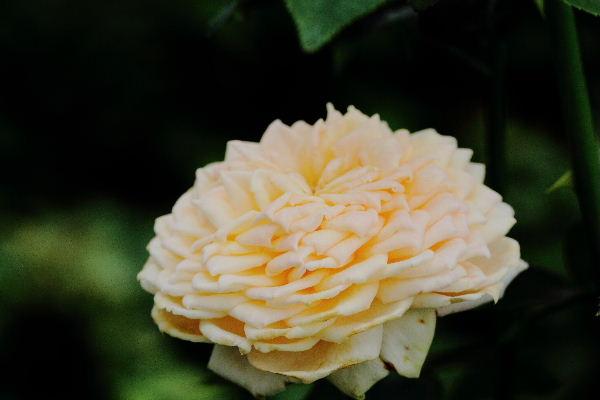 花き研究指導室 キャラメル・アンティーク 130707 01