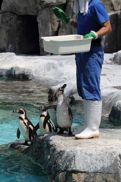 TobeZoo フンボルトペンギン 130720 01