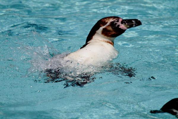 TobeZoo フンボルトペンギン 130720 05
