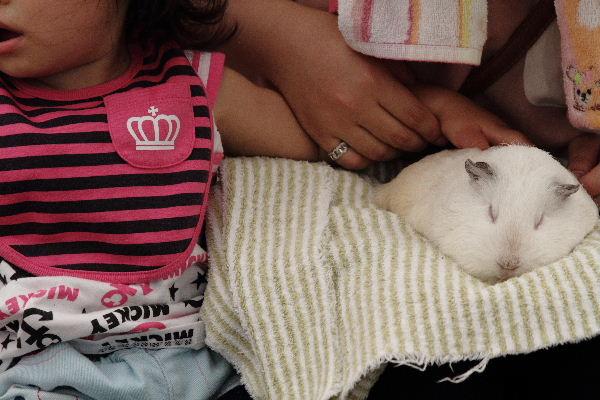 TobeZoo ウサギモルモットのスキンシップ 130720 001