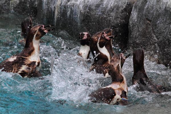 TobeZoo フンボルトペンギン 130730 03