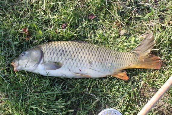 黄金太郎鯉