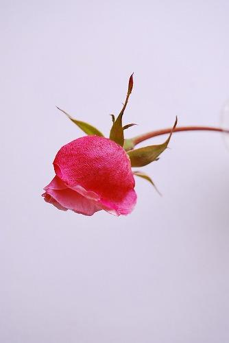 RoseDSC_0040.jpg