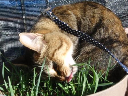 猫草の上はヒンヤリなのニャ