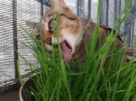 猫草は世界一うまいニャ~