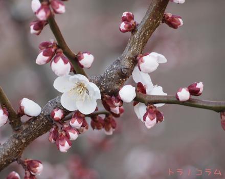 キレイに咲いた。