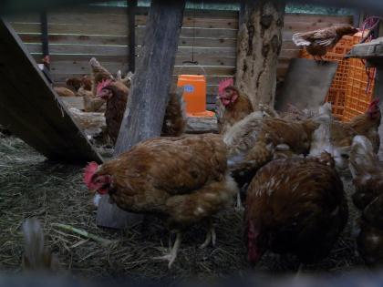 namie chickens 2