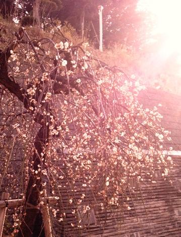 日吉の早春を盛り上げる桜