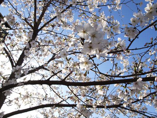 桜ブログ用