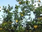 レモンの木が一杯