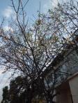 この町で桜発見