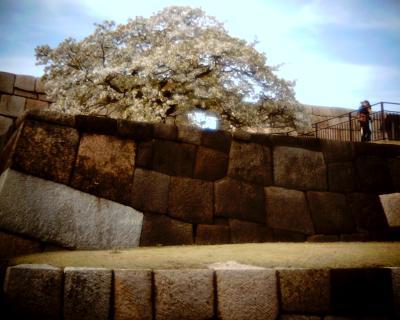 天守台と桜:Entry
