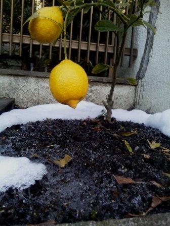 レモン霜柱1