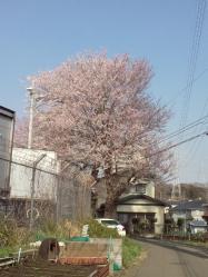 近所の桜、4分咲きかな