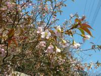 120110ヒマラヤ桜ー1