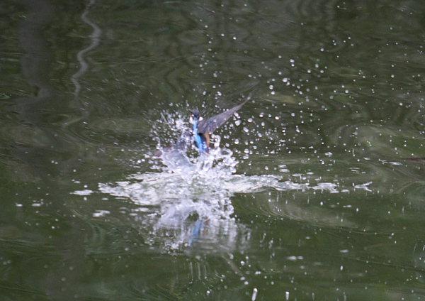 つかさのブログ-カワセミ