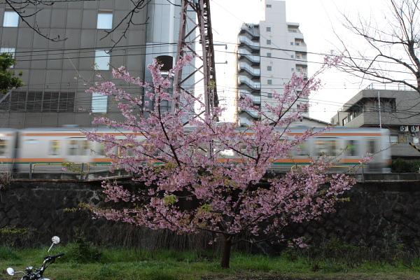 つかさのブログ-河津桜とメジロ