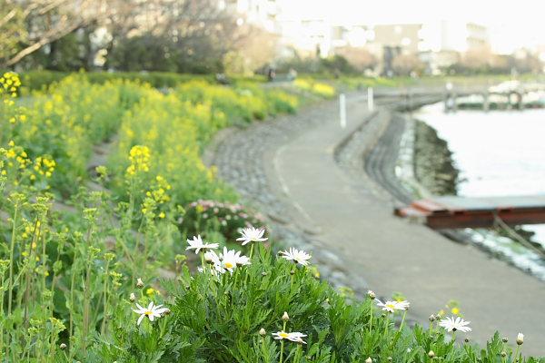 つかさのブログ-菜の花