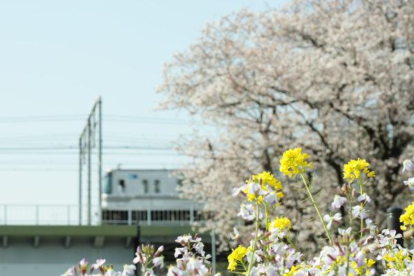 つかさのブログ-沼部桜