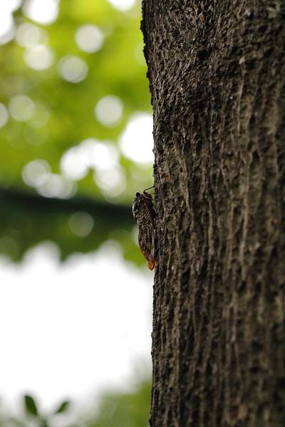 つかさのブログ-油蝉