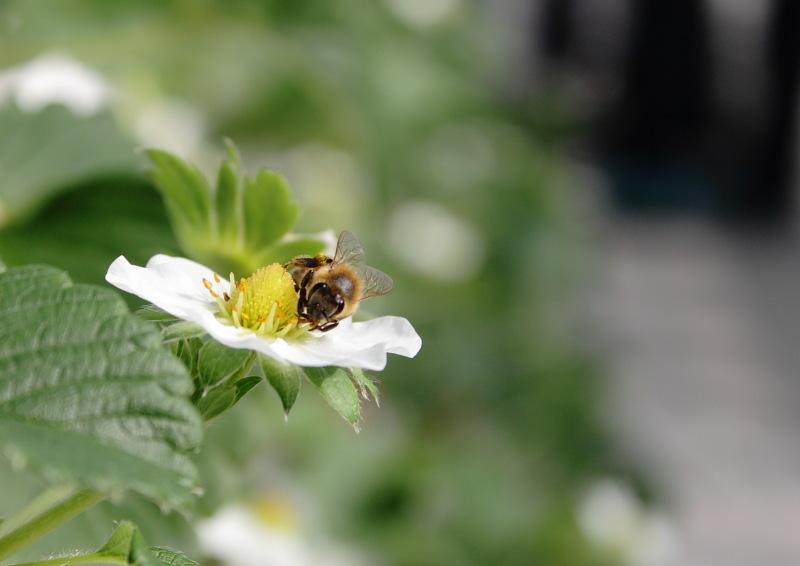 つかさのブログ-イチゴ狩り