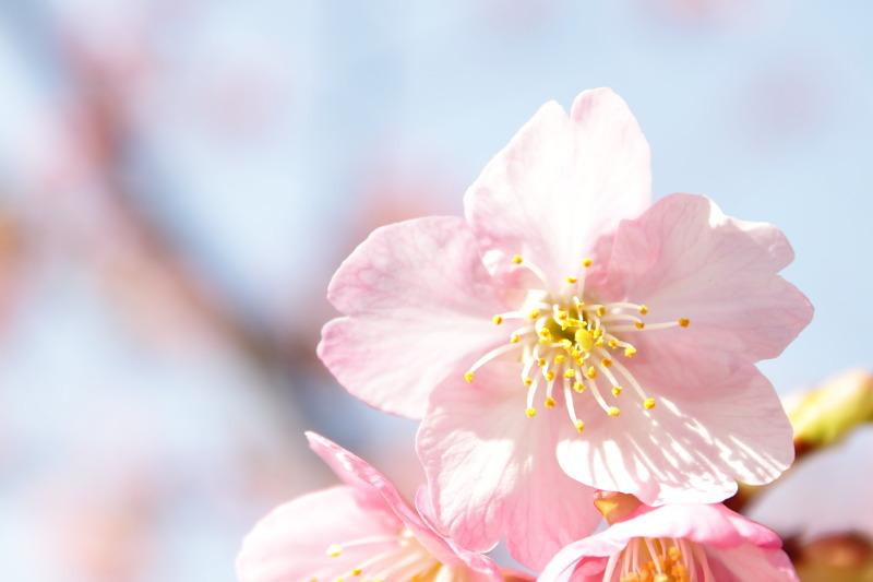つかさのブログ-河津桜