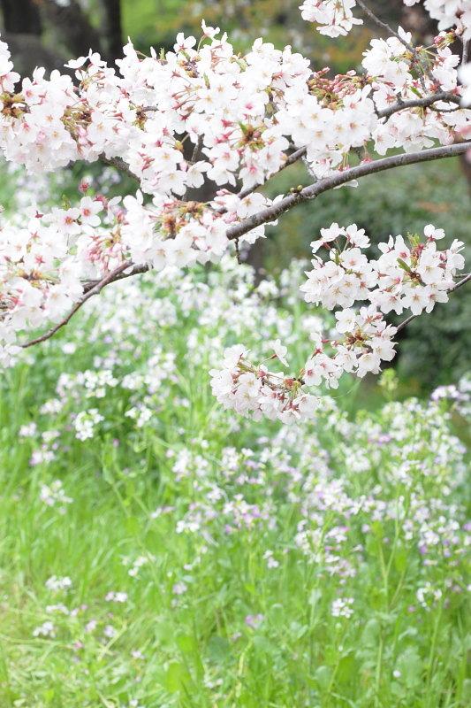 つかさのブログ-多摩川桜