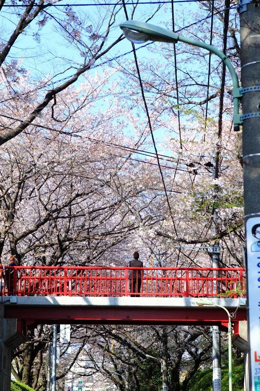 つかさのブログ-10沼部の桜