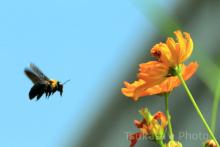 つかさのブログ-熊蜂