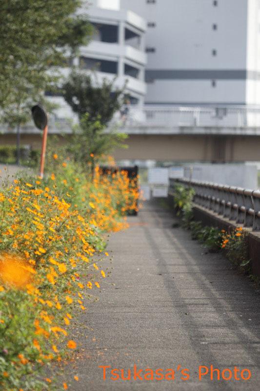 つかさのブログ-ヤマトシジミ