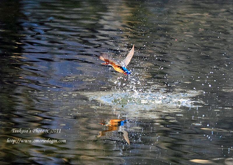 つかさのブログ-カワセミ2011