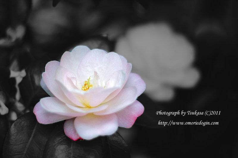 つかさのブログ-山茶花