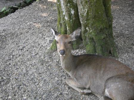 奈良の神鹿