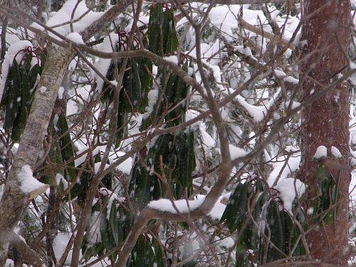雪の中のゆずり葉