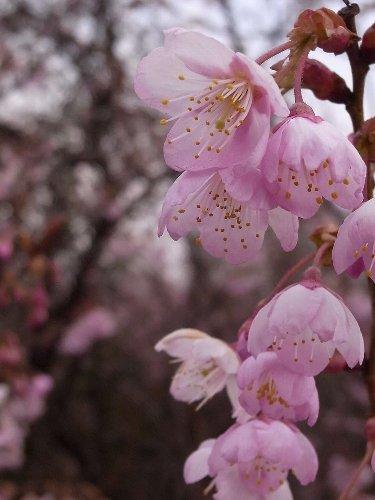 初御世桜2