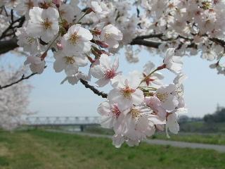 2010_0410sakura220080.jpg