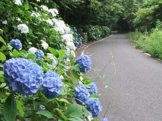 2010_0627ajisai0010.jpg