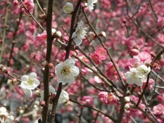 2011_0307tsukuba_ume0041.jpg