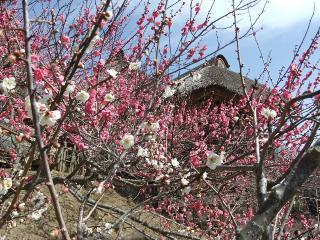 2011_0307tsukuba_ume0042.jpg