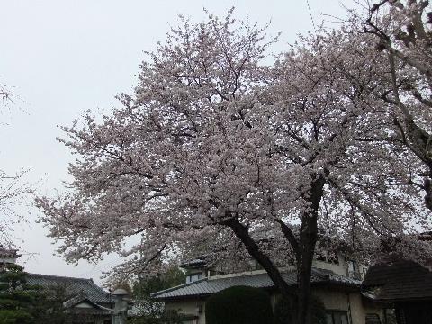 2011_0410sakura010001.jpg