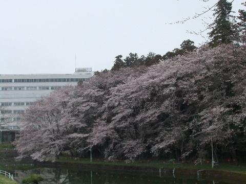 2011_0410sakura010007.jpg