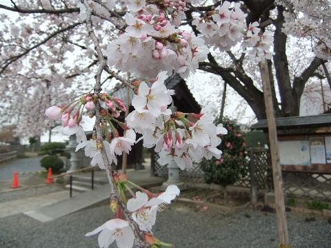 2011_0410sakura010009.jpg