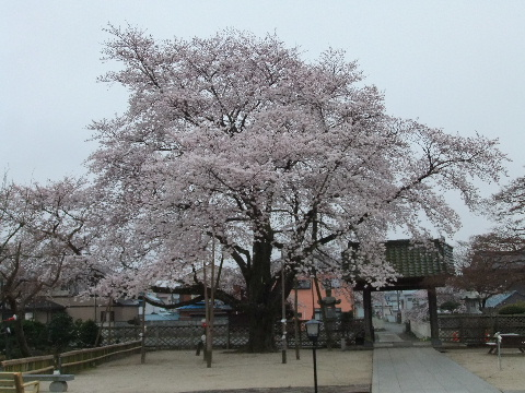 2011_0410sakura010011.jpg