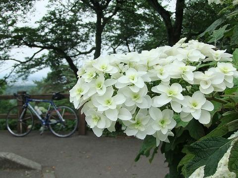 2011_0625ajisai0015.jpg