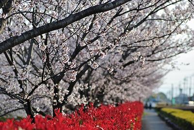 自転車道の桜