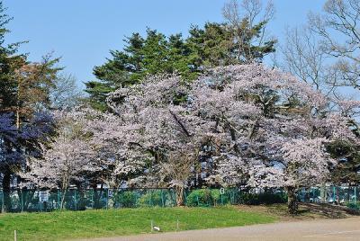 鼻顔神社の桜