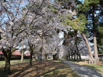 長野牧場の桜