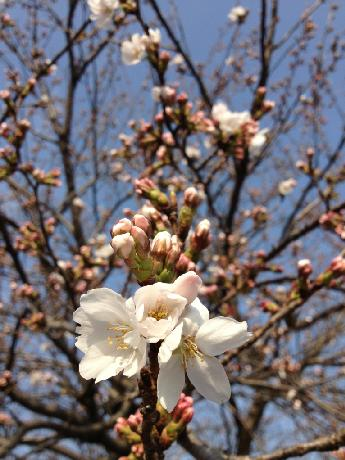 CAF9LZ6K桜開花した
