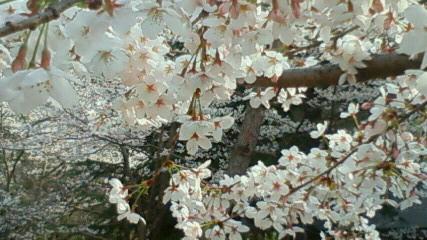22.4.4 桜Ⅱ