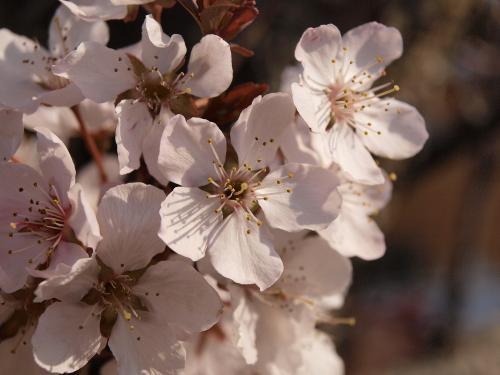 2011 桜3